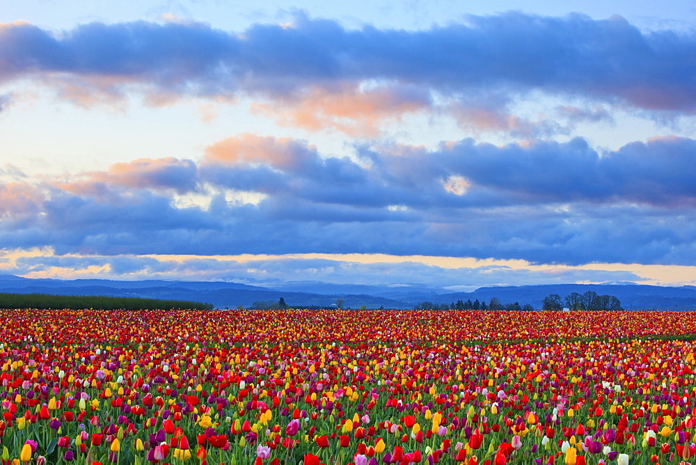 Sunrise Over A Tulip Field At Wooden Shoe Tulip Farm, Woodburn, Oregon, United States of America