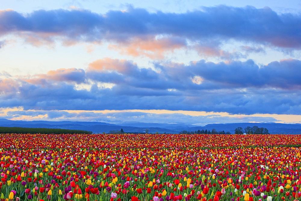 Sunrise Over A Tulip Field At Wooden Shoe Tulip Farm, Woodburn, Oregon, United States of America