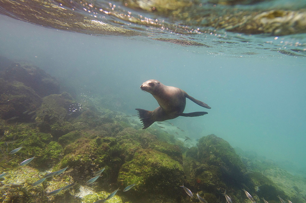 A sea lion swimming under the water's surface watching a school of fish, Galapagos, equador