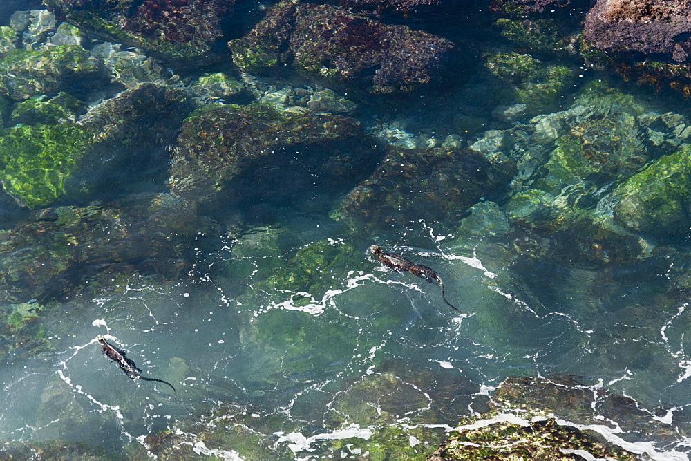Marine Iguanas (Amblyrhynchus Cristatus) Swimming In A Lagoon, Galapagos, Equador