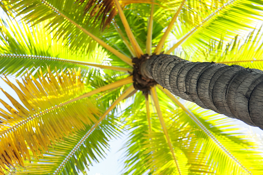 Beautiful palm tree detail seen from below, Honolulu oahu hawaii united states of america