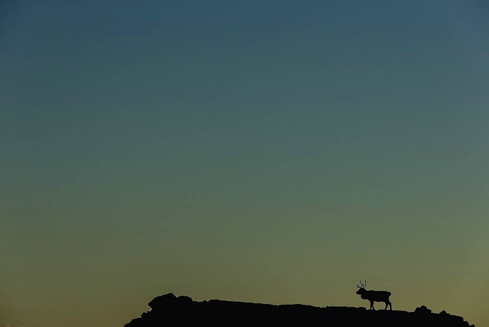Silhouette Of A Solitary Reindeer Standing On A Rock At Sunset, Eastern Iceland - 1116-41713