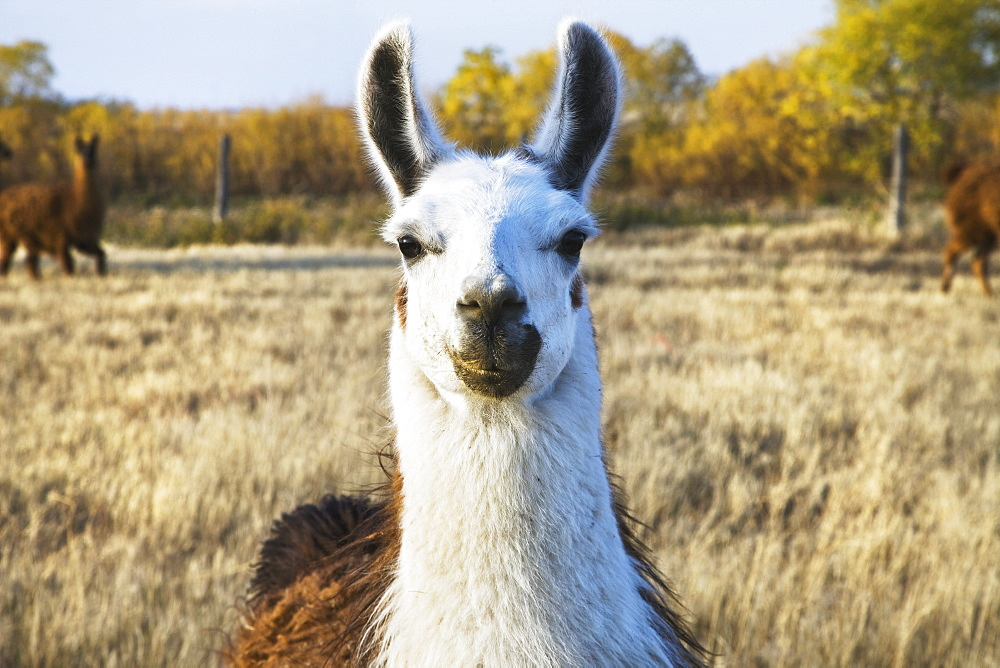 Llama on a farm, Saskatchewan canada