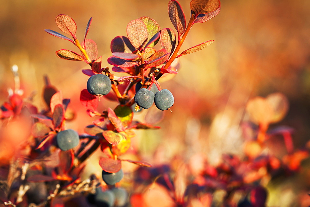 Lowbush Blueberry In Autumn Colors Near The Noatak River, Brooks Range, Alaska, United States Of America