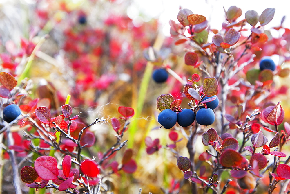 Lowbush Blueberry In Fall Colors Near The Noatak River, Brooks Range, Alaska, United States Of America