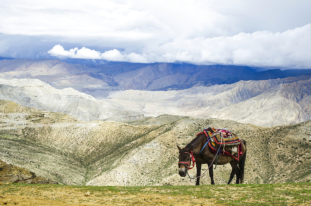 Nepalese horse rests on a mountain pass along the route from samar to gemi, Upper mustang nepal