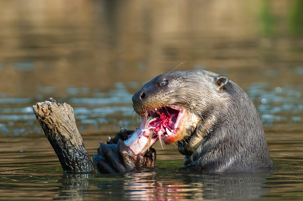 Giant river otter (pteronura brasiliensis) eats fish along the cuiba river in the pantanal, Brazil