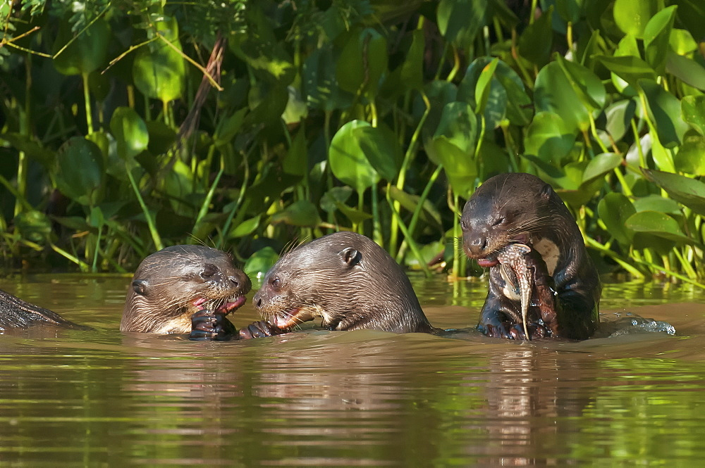 Giant river otters (pteronura brasiliensis) eat fish along the cuiba river in the pantanal, Brazil