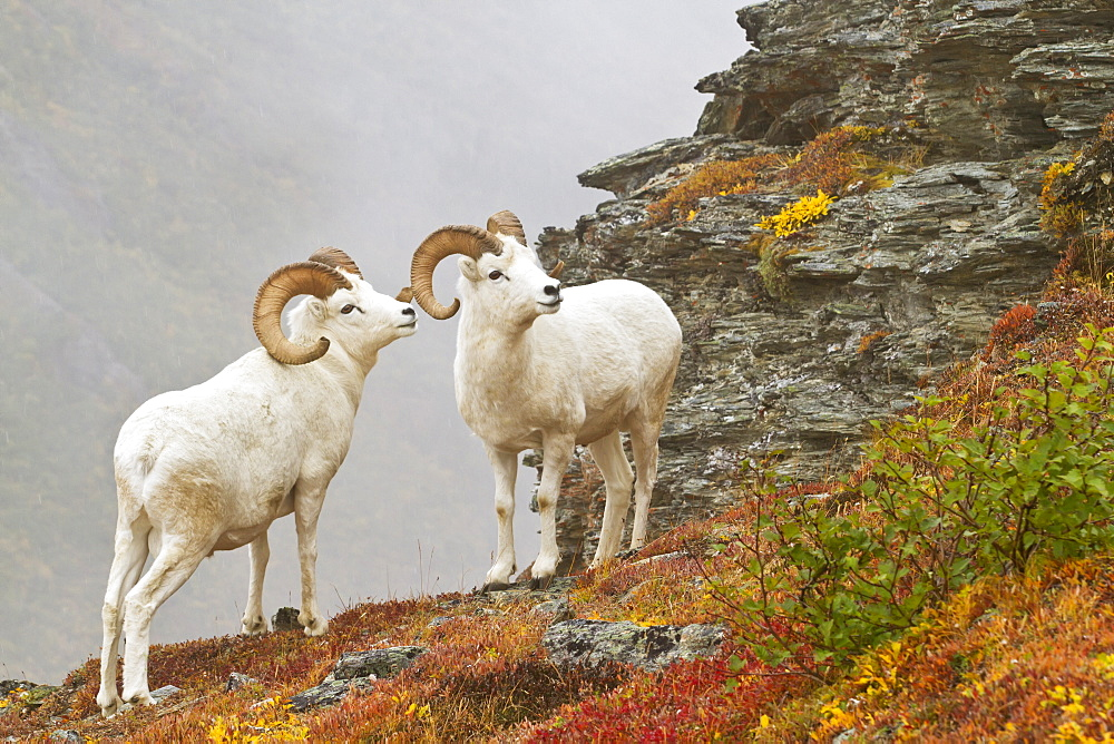 Dall's sheep (ovis dalli) rams standing by rock outcrop in alpine tundra in autumn, denali national park, Alaska, united states of america