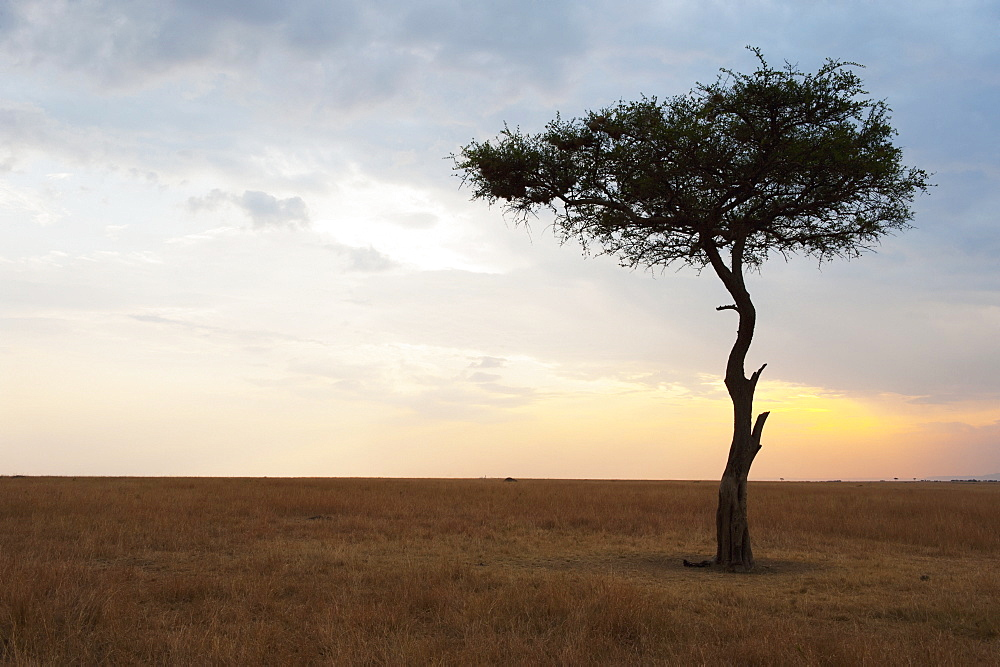 A lone tree on the maasai mara national reserve landscape at sunset, Maasai mara kenya