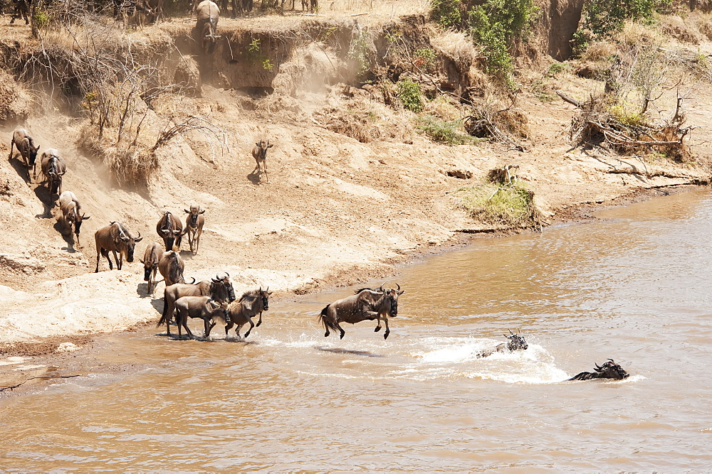 Migration of the wildebeest in the maasai mara national reserve, Maasai mara kenya