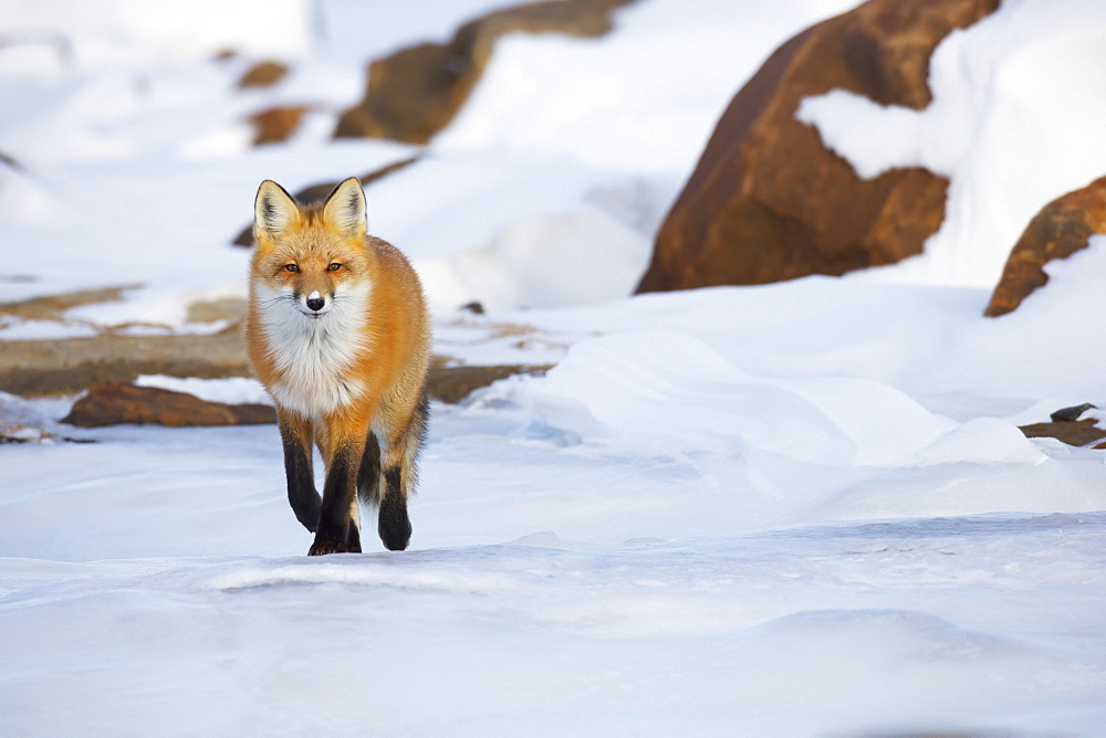 Red fox (vulpes vulpes) walking along the shores of hudson's bay, Churchill manitoba canada