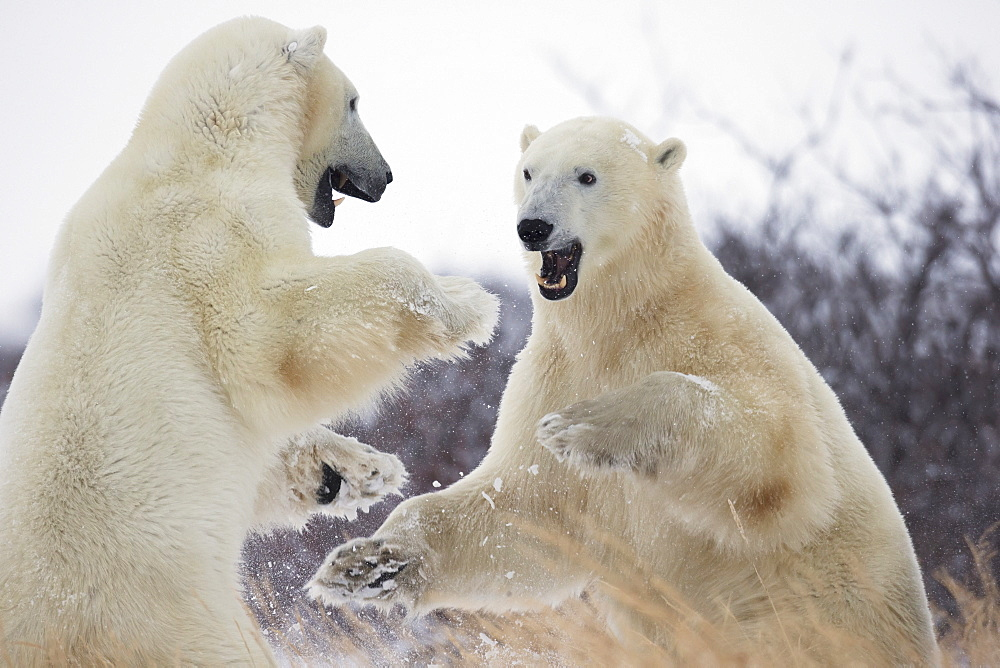 Polar bears (ursus maritimus) play fighting along the shores of hudson's bay, Churchill manitoba canada - 1116-41847