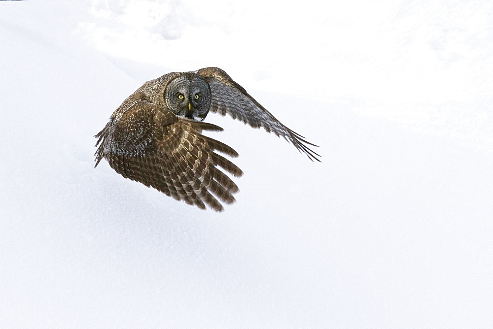 Great Gray Owl In Flight, Anchorage, Southcentral Alaska, Winter