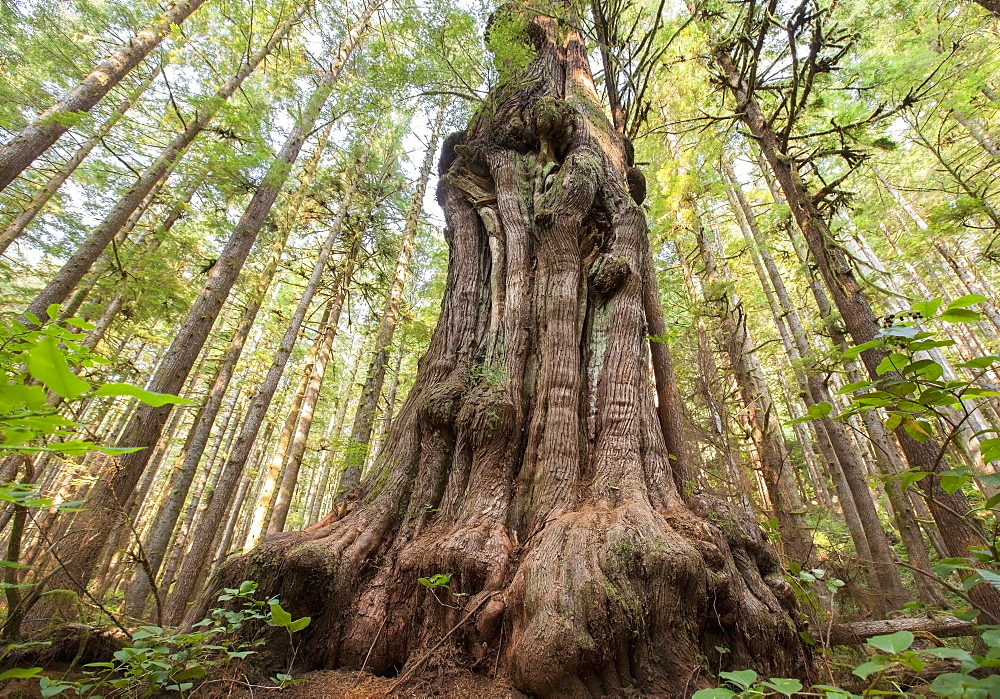 Canada's gnarliest tree a giant cedar tree in what is called avatar forest near port renfrew, Vancouver island british columbia canada