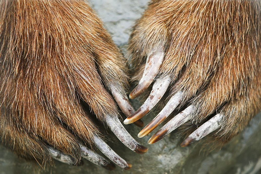 Captive: Close Up Of Brown Bear Paws And Claws, Alaska Wildlife And Conservation Center, Southcentral Alaska