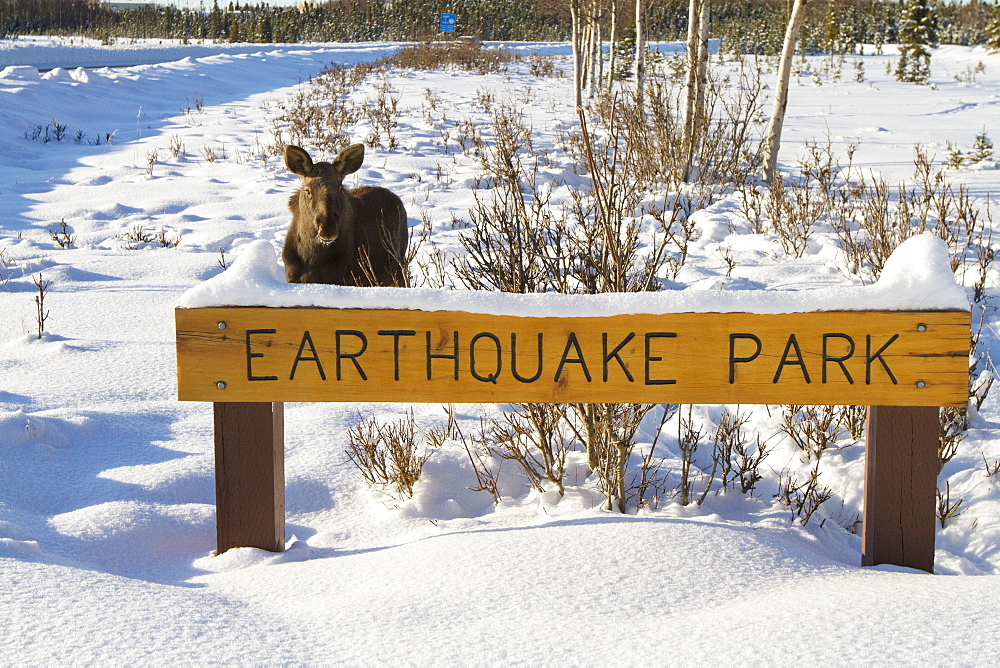 Moose By Earthquake Park Sign In West Anchorage, Southcentral Alaska, Winter