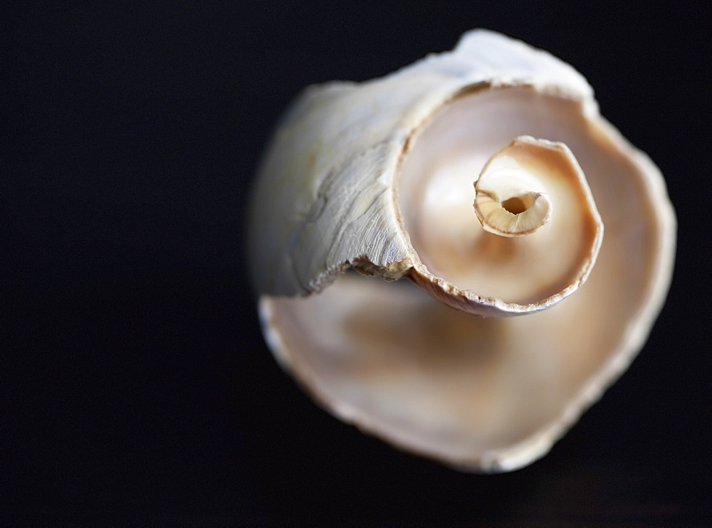 Hollowed shell from newfoundland shores on a black background, Alberta canada