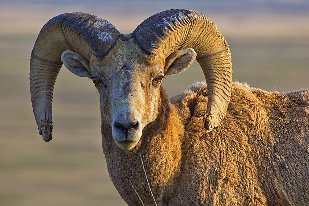 Bighorn sheep badlands national park, south dakota united states of america - 1116-41933