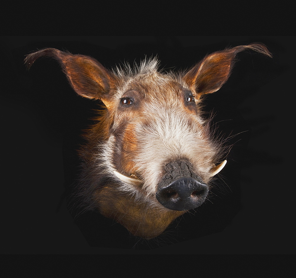 Face of a warthog (phacochoerus africanus) on a black background
