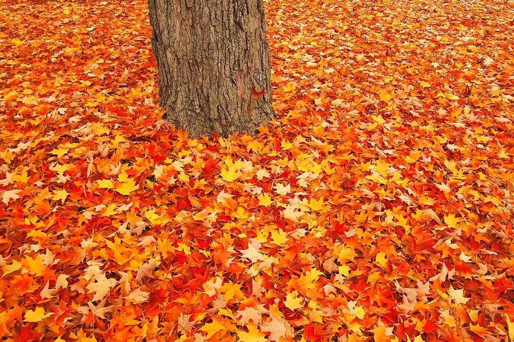Red orange and yellow leaves blanket the ground around a tree trunk in autumn, Augusta maine united states of america