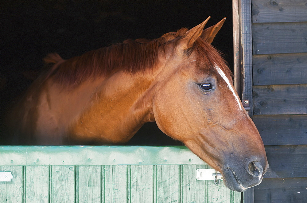 A horse peeks his head out of his stall, Mijas malaga andalusia spain