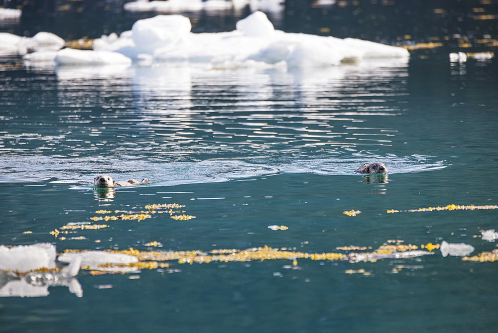 Sea Otters (Enhydra Lutris) Resting On Ice Bergs Floating In Barry Arm In Springtime, Prince William Sound, Chugach National Forest, Alaska, United States Of America
