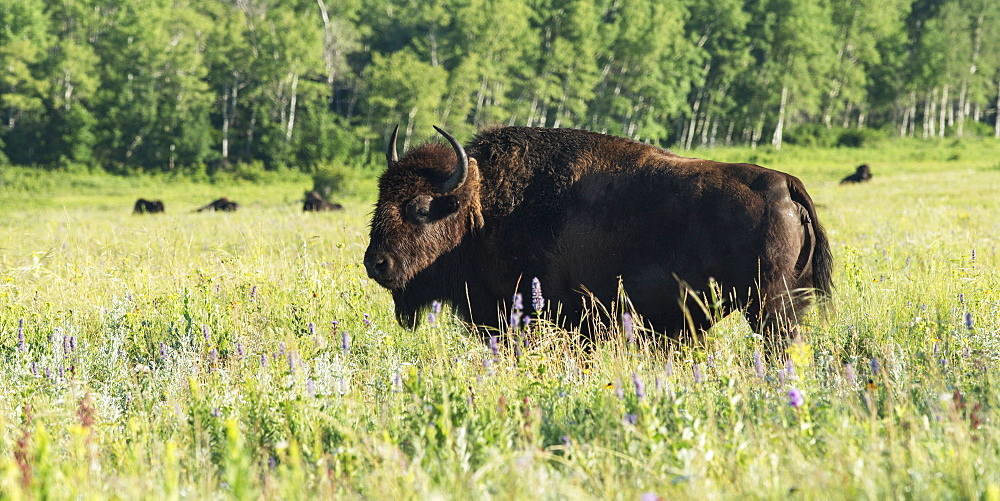 An American Bison (Bison Bison) Stands In A Grass Field In Riding Mountain National Park, Manitoba, Canada