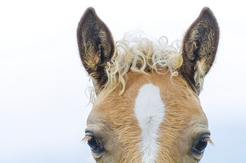 Top Of A Horse's Head With A Curly Mane, Locarno, Ticino, Switzerland