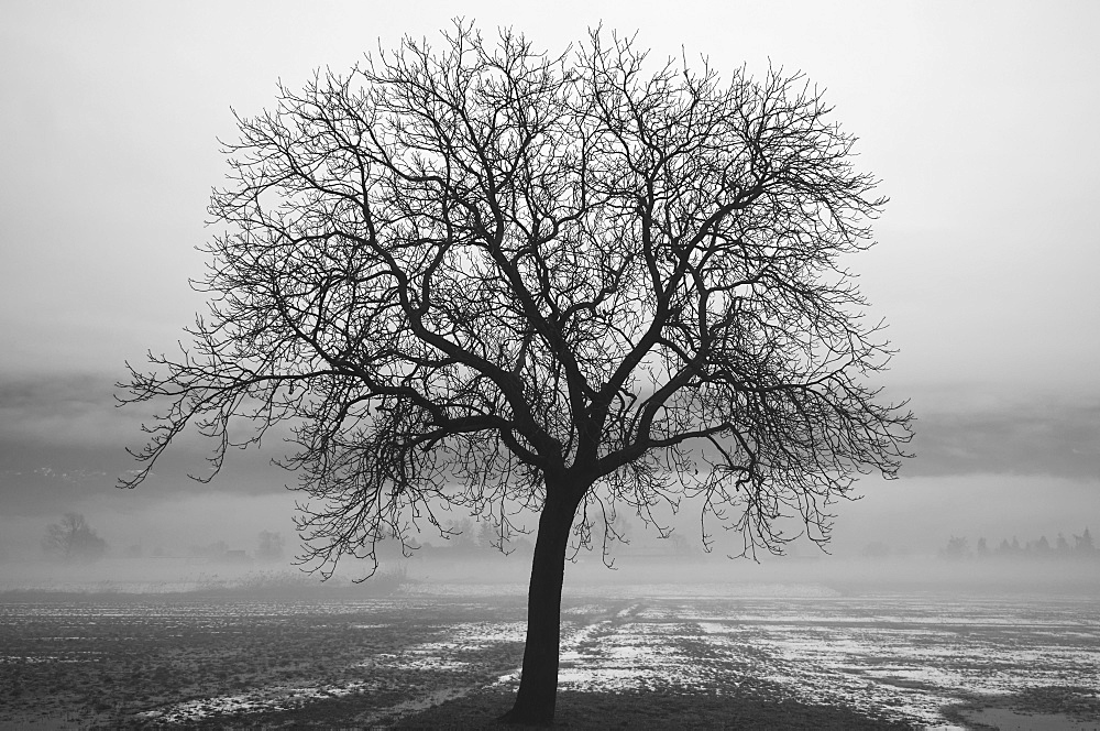 Silhouette Of A Leafless Tree In A Wet, Foggy Field, Locarno, Ticino, Switzerland