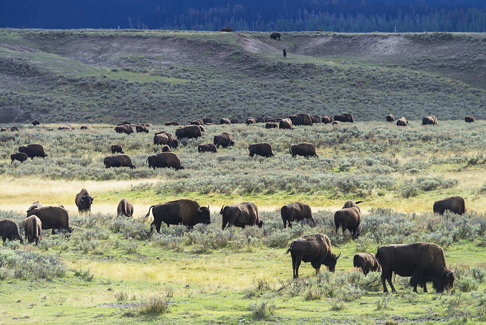 Bison, Yellowstone National Park, Wyoming, United States Of America