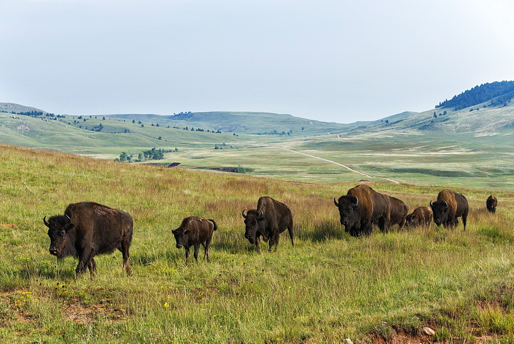 Bison, Wind Cave National Park, South Dakota, United States Of America