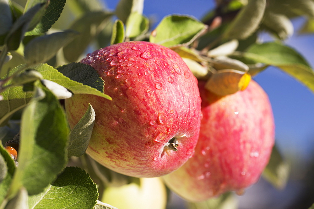 Close Up Of Apples Growing On A Tree Against A Deep Blue Sky, Calgary, Alberta, Canada