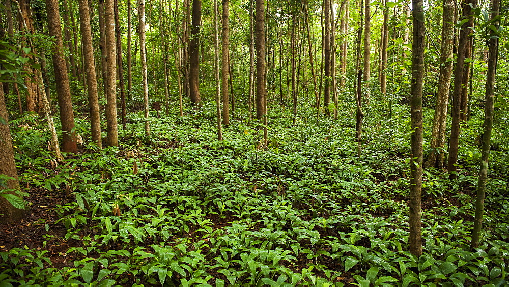 Jungle Floor, Sen Monorom, Mondulkiri, Cambodia