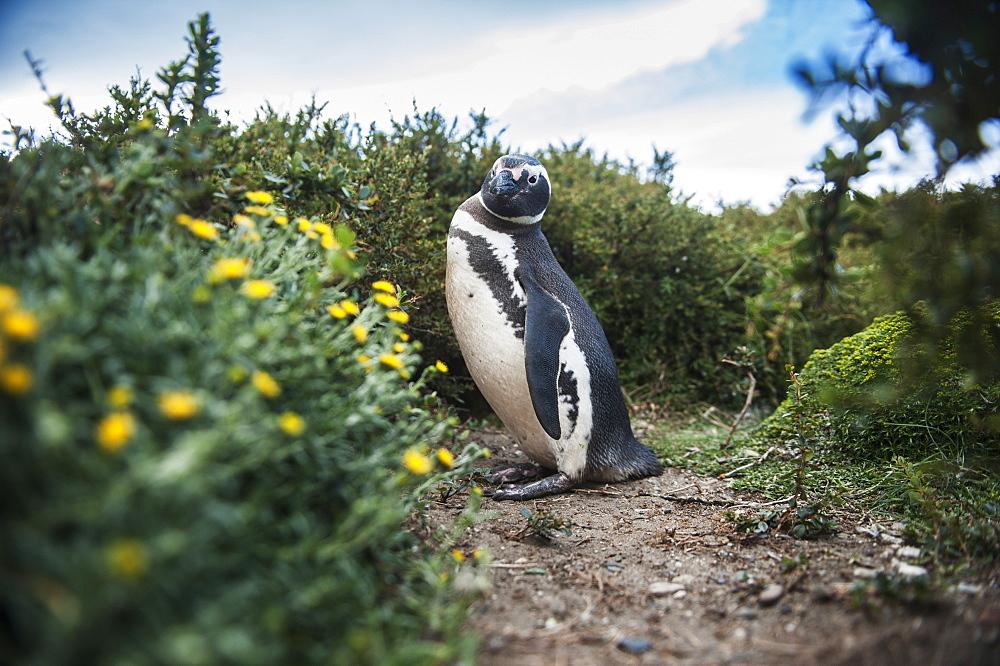 Magellanic Penguin (Spheniscus Magellanicus), Punta Arenas, Magallanes, Chile
