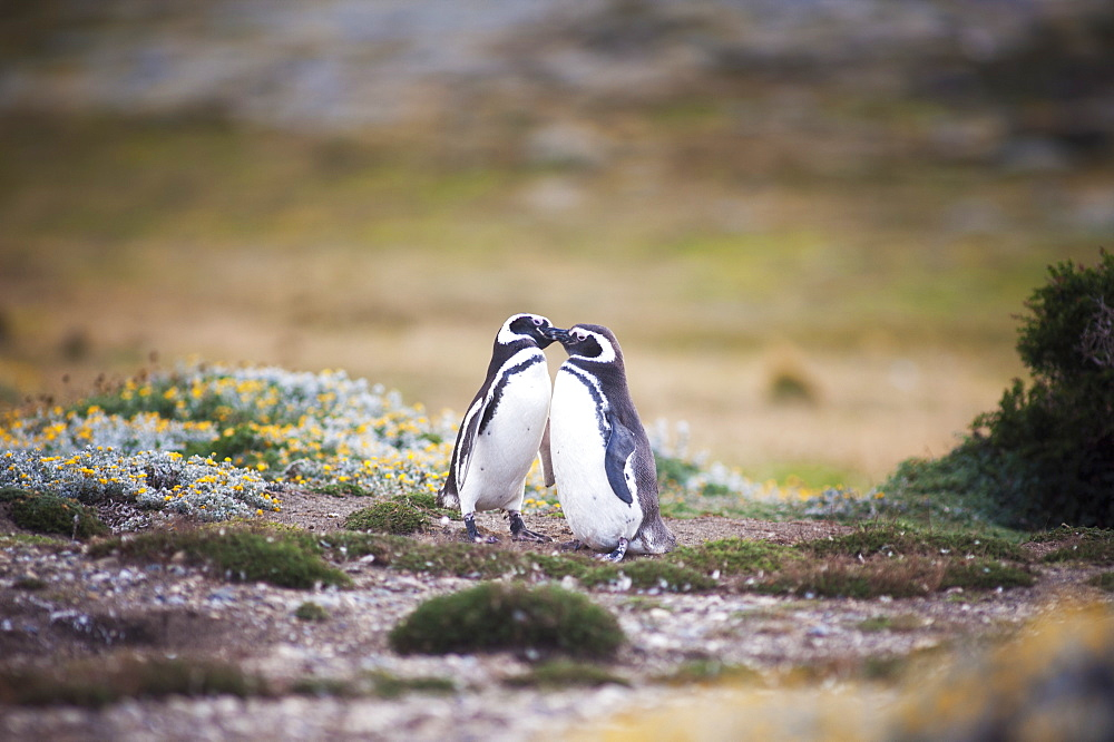 Magellanic Penguins (Spheniscus Magellanicus), Punta Arenas, Magallanes, Chile
