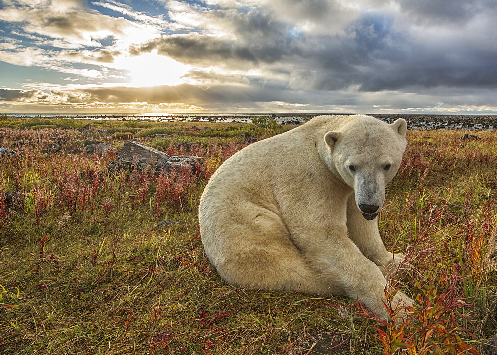 Polar Bear (Ursus Maritimus) Sitting In The Grass Along The Shorline Of Hudson Bay, Manitoba, Canada