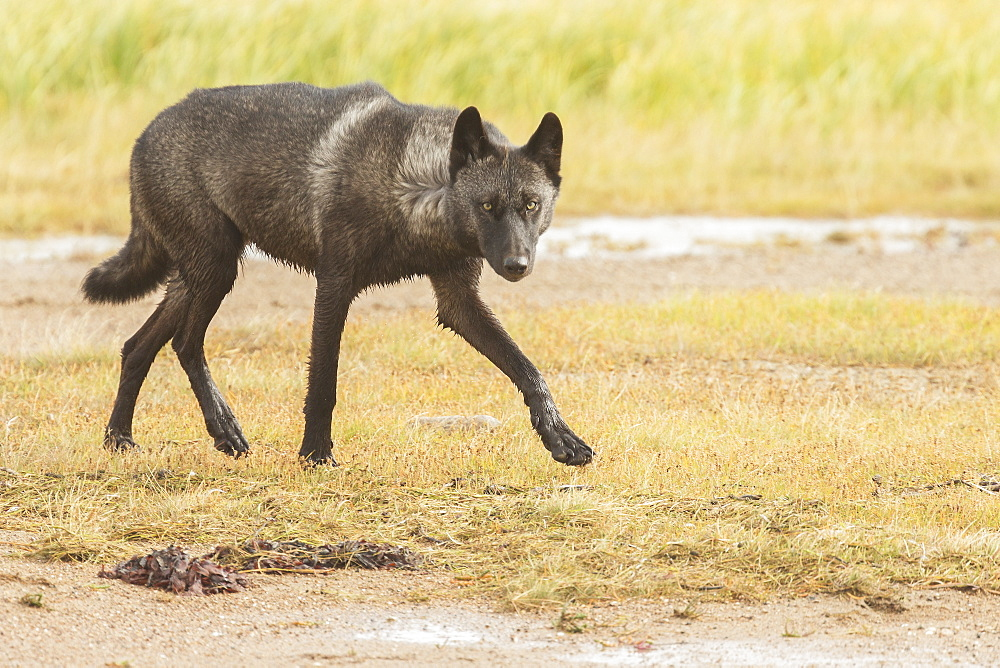 Black Wolf Along The Coast Of Hudson Bay, Manitoba, Canada