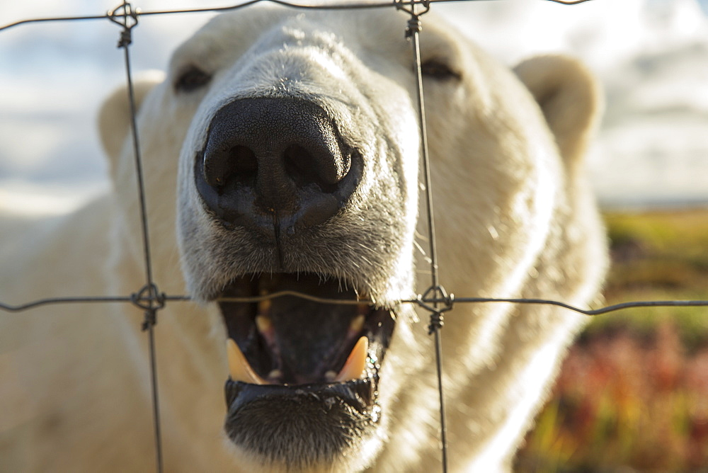 Polar Bear (Ursus Maritimus) Chewing On A Fence Near Churchill, Manitoba, Canada