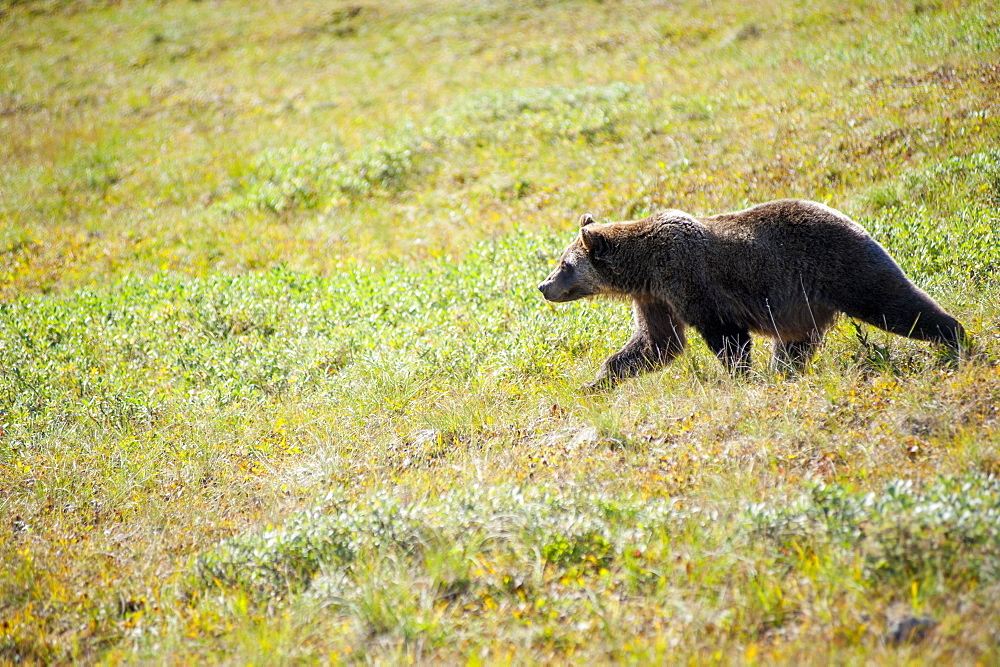Grizzly Bear On The Tundra, Denali National Park, Southcentral, Alaska, Fall