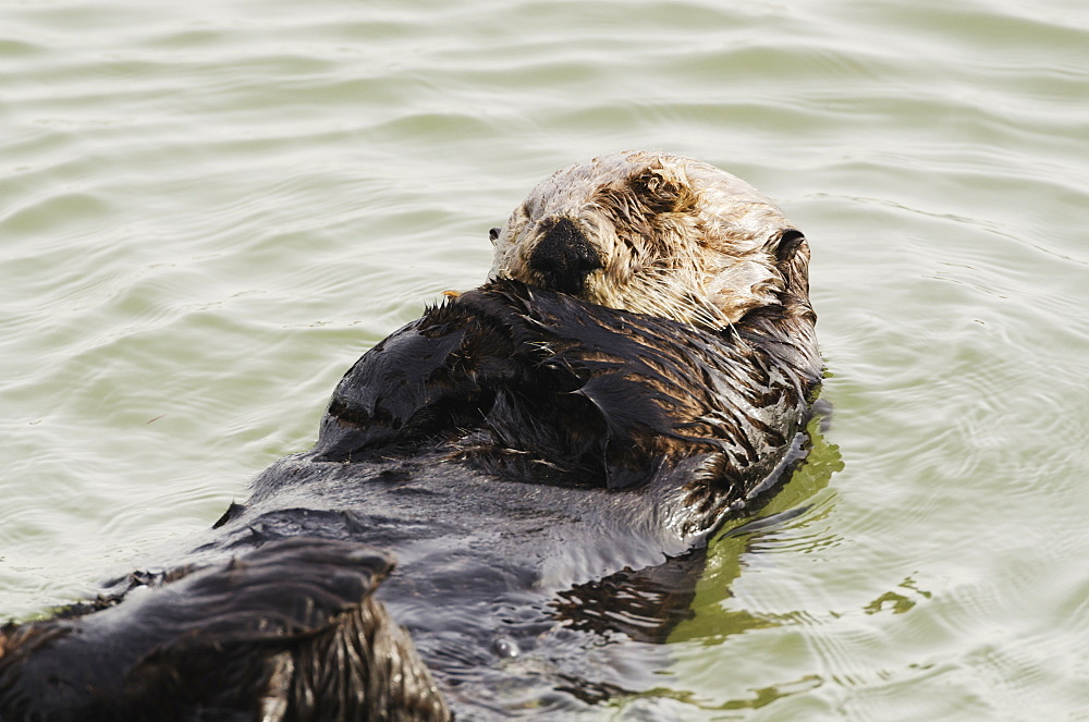 Sea Otter (Enhydra Lutris) Grooming Fur, Moss Landing, Monterey Bay, California, United States Of America