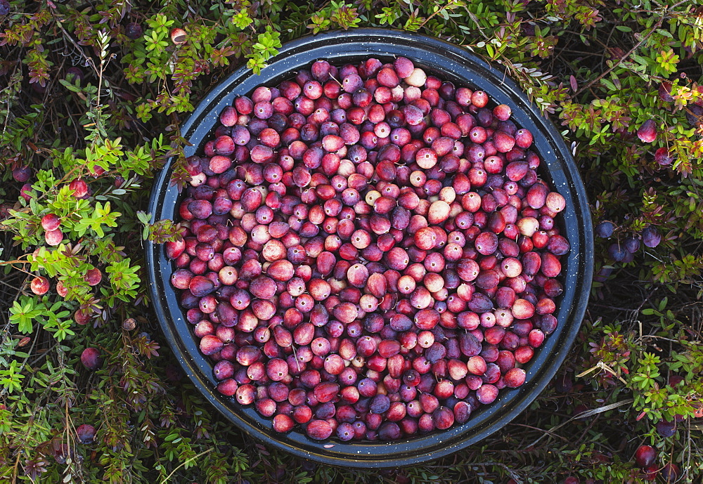 A Bowl Full Of Cranberries, Ontario, Canada