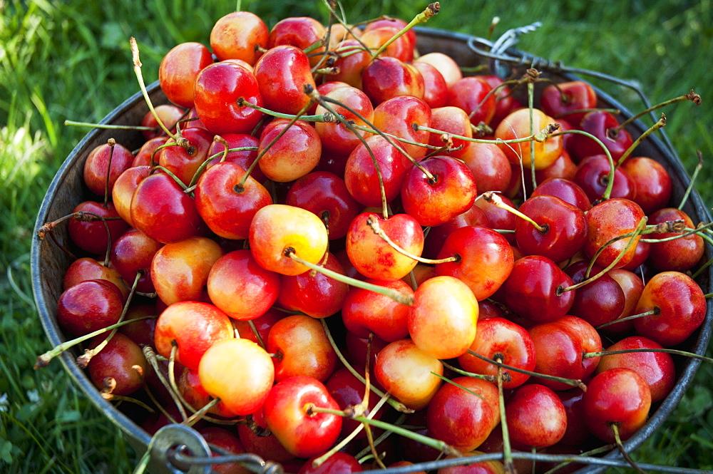 A Bucket Of Ripe Ranier Cherries Are Freshly Picked In The Okanagan, British Columbia, Canada