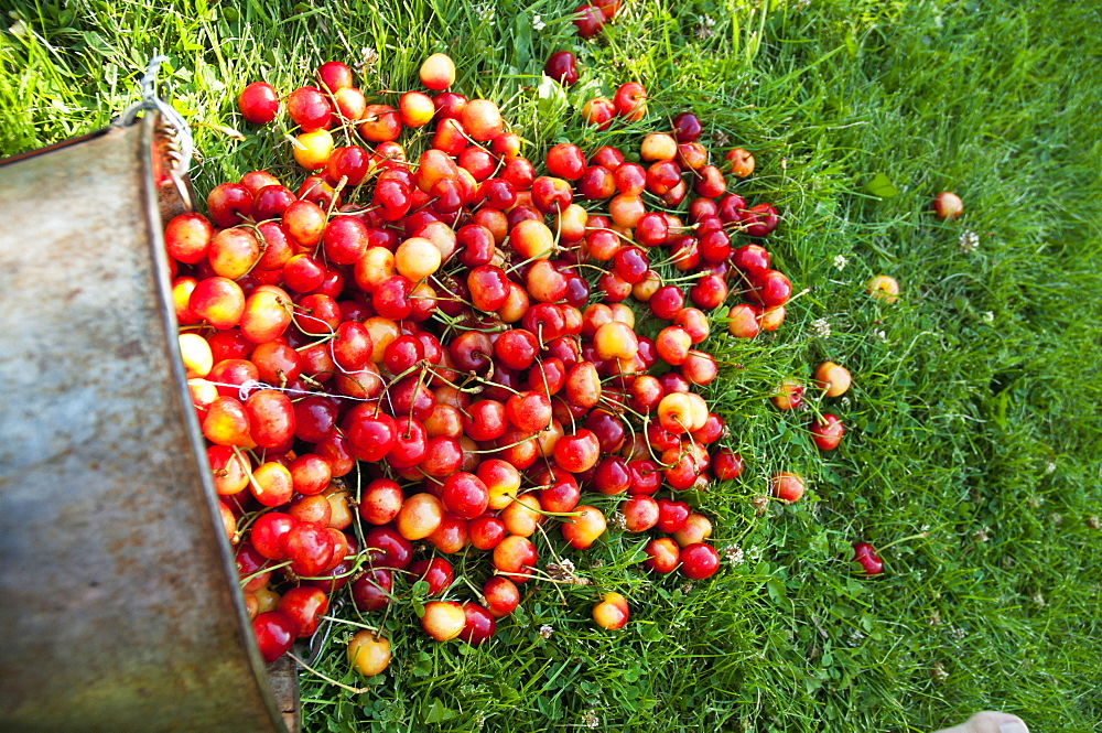 A Bucket Of Ripe Ranier Cherries Freshly Picked In The Okanagan, British Columbia, Canada