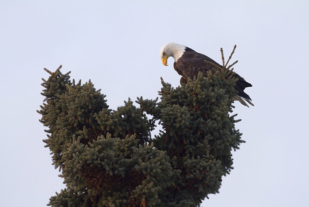 An Eagle On The Top Of A Pine Tree Against A Blue Sky