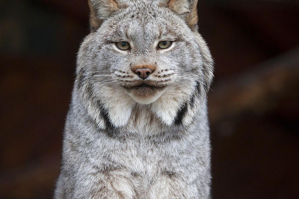 A Grey Lynx Staring At The Camera