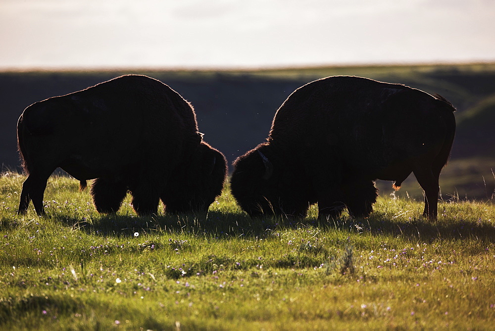 Bison Grazing, Grasslands National Park, Saskatchewan, Canada