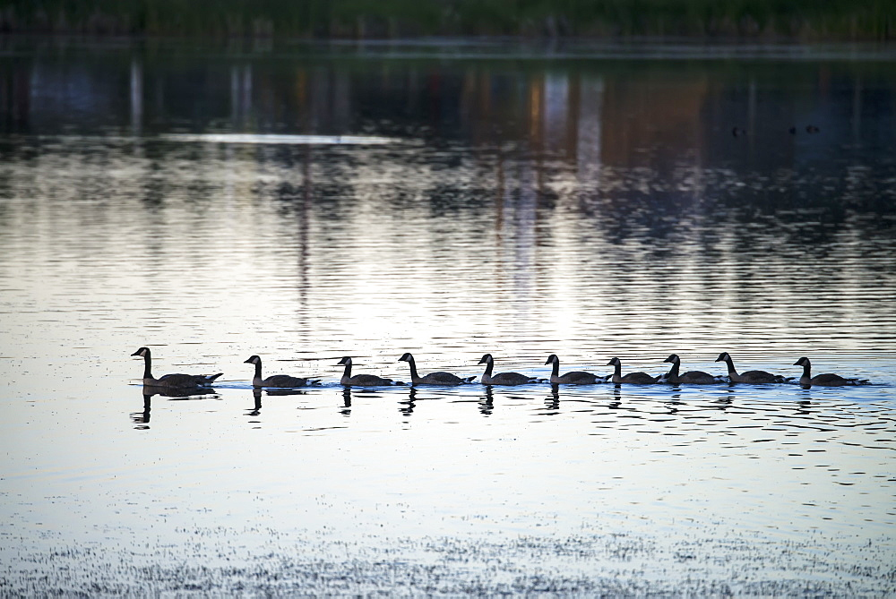 Canada Geese (Branta Canadensis) Swimming In Straight Line Behind Mother Goose, 100 Mile House, British Columbia, Canada