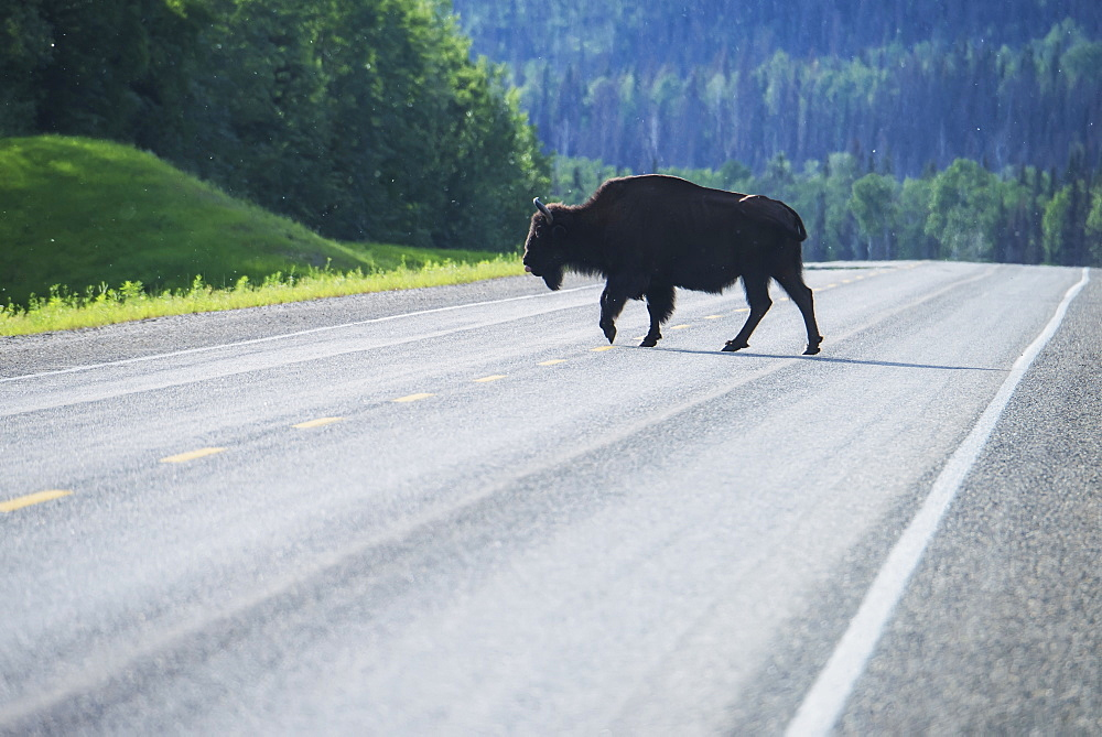 Wood Bison (Bison Bison Athabascae) On Alaska Highway Near Liard Hot Springs, British Columbia, Canada