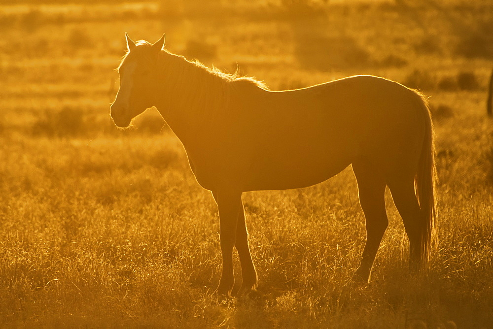 Horse On Open Range With Sunset Backlighting, Arizona, United States Of America